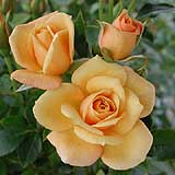 Apricot lolored rose