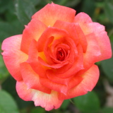 southern delight rose