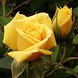 Yellow rose tally